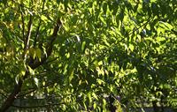 辽宁垂柳的形态特征