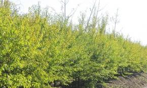 提高新疆杨造林成活率技术