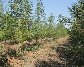 天津白蜡种植